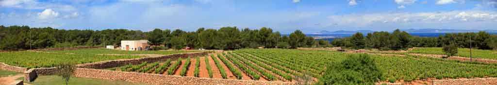 Vista parcial de las catorce hectáreas de viñedos que explota Terramoll en la Mola, en Formentera.