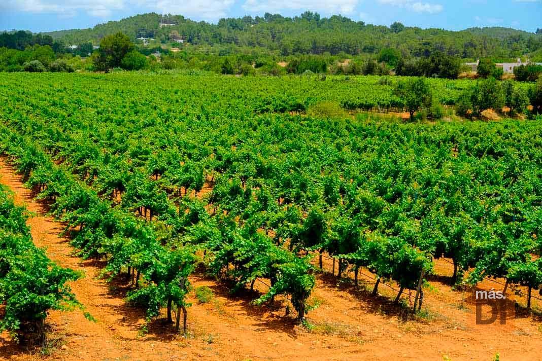 Los vinos ibicencos reinan los Golden Leaf Awards