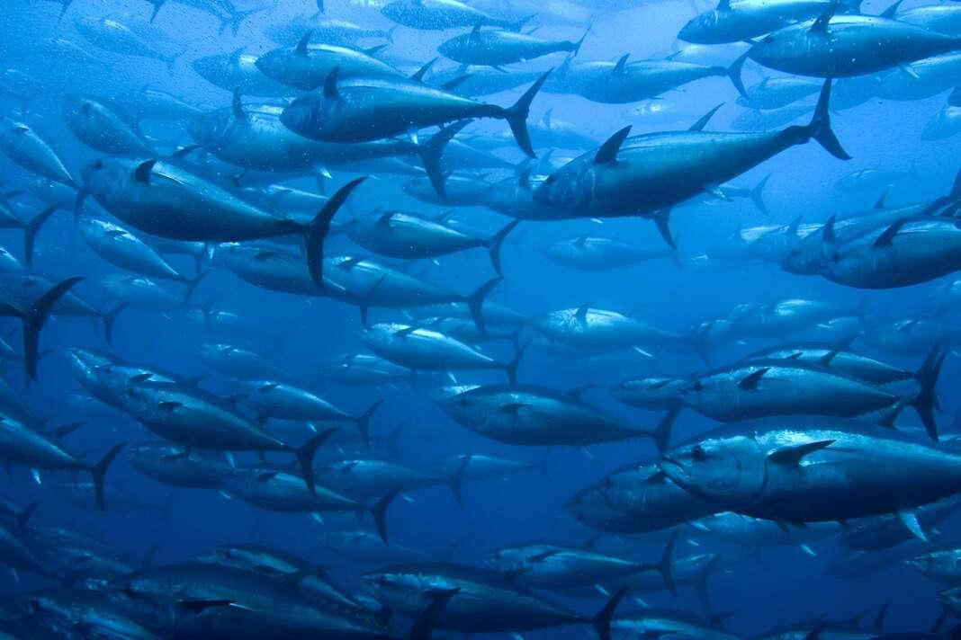 Para conocer qué pescado se puede consumir en cada época del año, hoy en día existen 'apps' y plataformas que lo indican. foto: istock la crisis del atún rojo