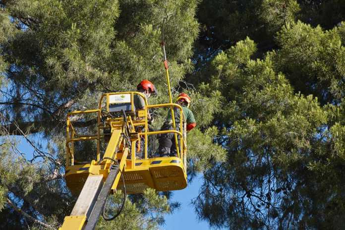 Un correcto mantenimiento de los árboles mejora su salud, previene accidentes y potencia su desarrollo biológico. Ibiza Green