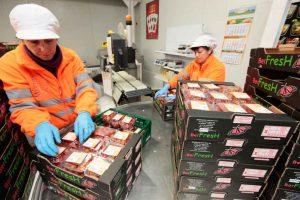 Dos trabajadoras etiquetan paquetes de tomates cherrys.