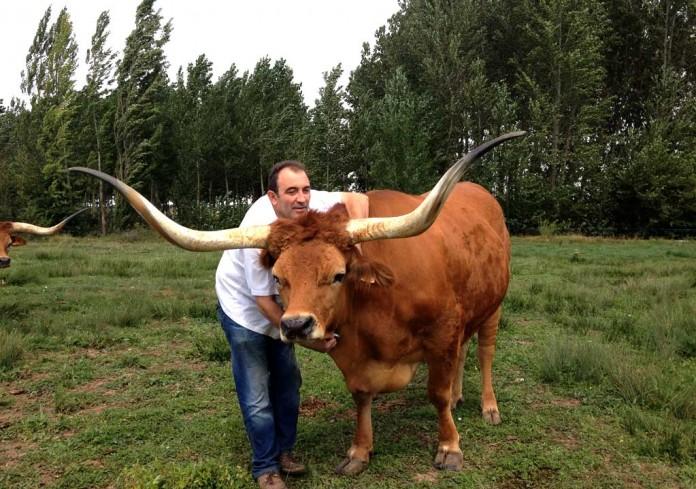 José Gordón posa con uno de los bueyes en su granja de León. Su carne está valorada como las mejores del mundo.