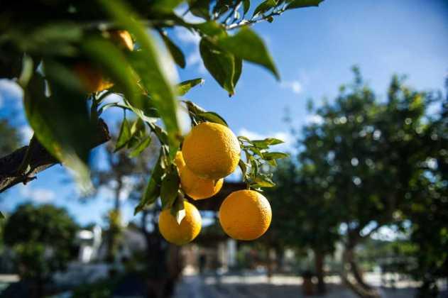 Limones en el campo de Sant Miquel. SERGIO G. CAÑIZARES