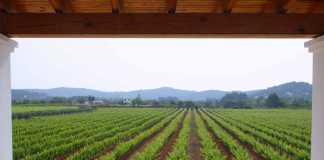 Vista general de los viñedos de Can Rich en Buscastell. BODEGAS CAN RICH