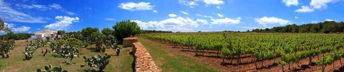Vista panorámica de los viñedos de la bodega Terramoll en Formentera. AISHA BONET
