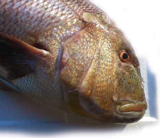Un dentón, uno de los pescados de alta gama disponibles en Calimax.