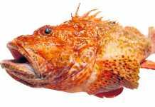 Rotja. Este pez mide normalmente entre 30 y 50 centímetros, pero también se han encontrado ejemplares de mayor tamaño. Su peso oscila entre los 300 y los 1.200 gramos.