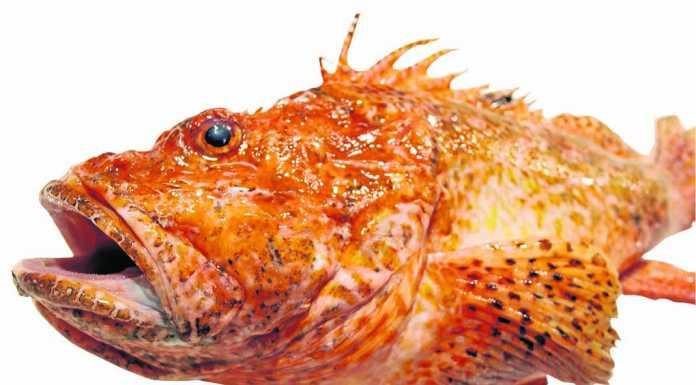Roja. Este pez mide normalmente entre 30 y 50 centímetros, pero también se han encontrado ejemplares de mayor tamaño. Su peso oscila entre los 300 y los 1.200 gramos.