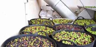 Colecta de olivas en la isla. fotos: D.I.