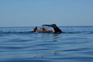 Durante la última travesía, las ballenas visitaron a los navegantes.