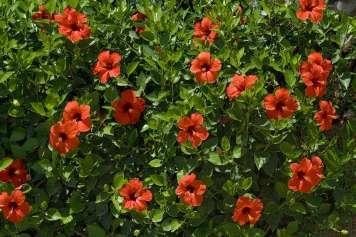 La flor de Hibisco también se conoce como la Flor de Jamaica.
