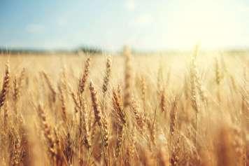 El trigo fue el cereal más empleado en Europa durante la Edad Media.