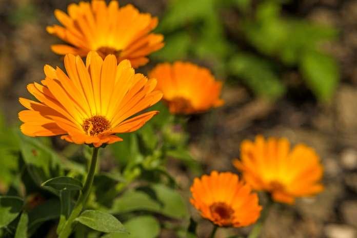 La caléndula, además de ser una flor hermosa, actúa como barrera antimosquitos.