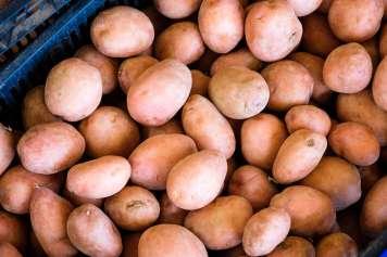 Patata roja ibicenca, esencial en la cocina local.