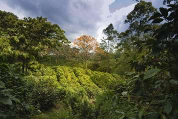 Plantaciones de café.