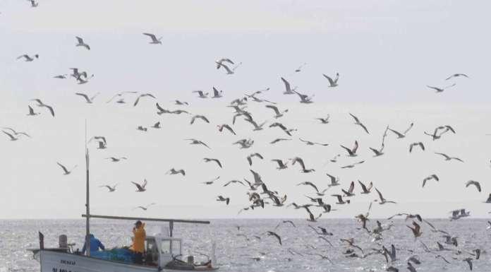 Cofradía de pescadores de Ibiza. Los pescadores de Ibiza están apostando por una pesca responsable para garantizar el futuro de la profesión. J.A. Riera