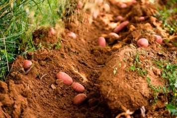 Patata roja ibicenca