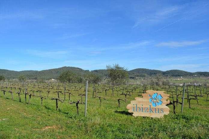 En Ibizkus se da especial importancia al cultivo de la viña con una esmerada agricultura. Foto: Ibizkus