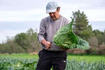 Cristòfol Ferrer recogiendo una 'col pagesa' en su finca.